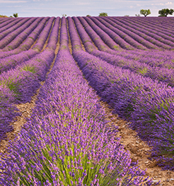 Provence: the lavender bloom time