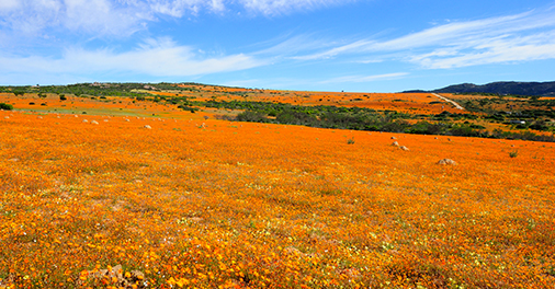 Namaqualand daisies northern cape